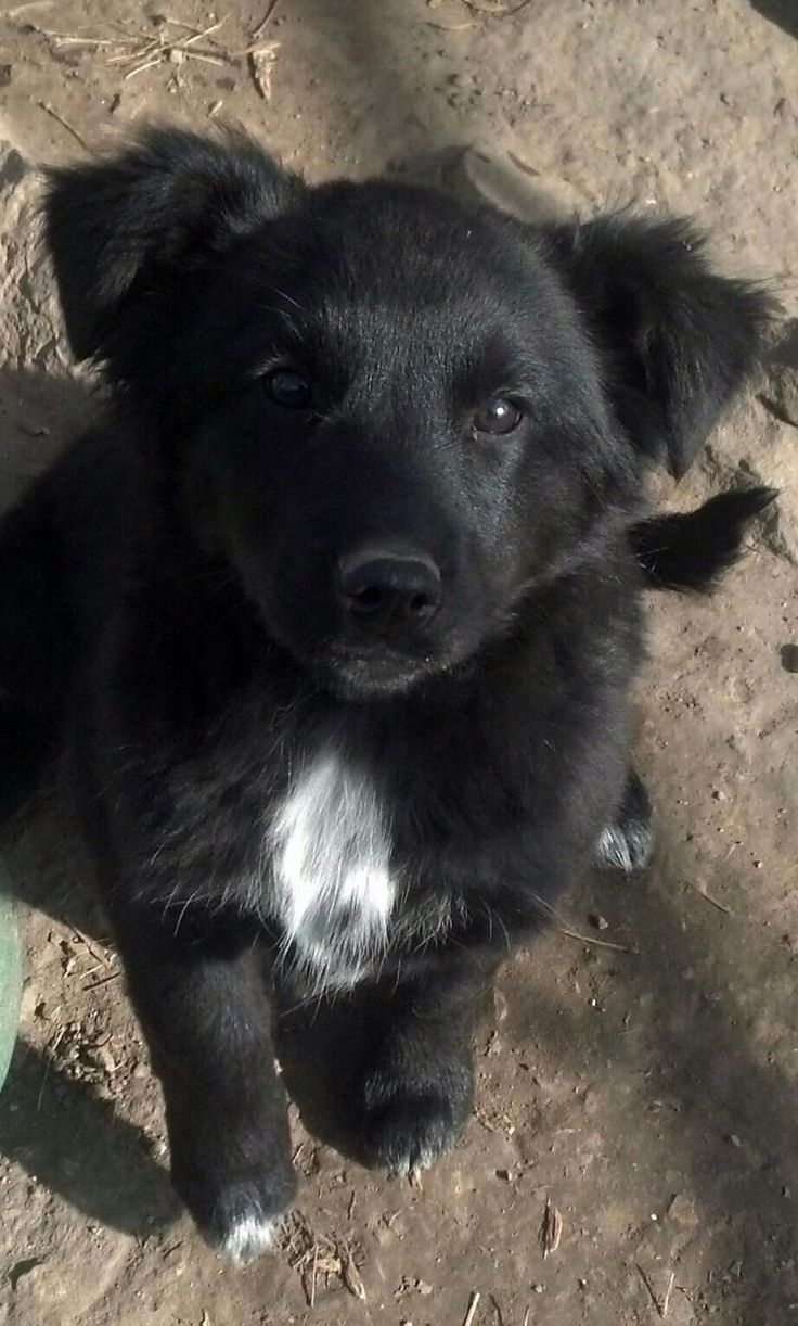 German Shepherd Border Collie Mix Puppies Richmond Area Rescue
