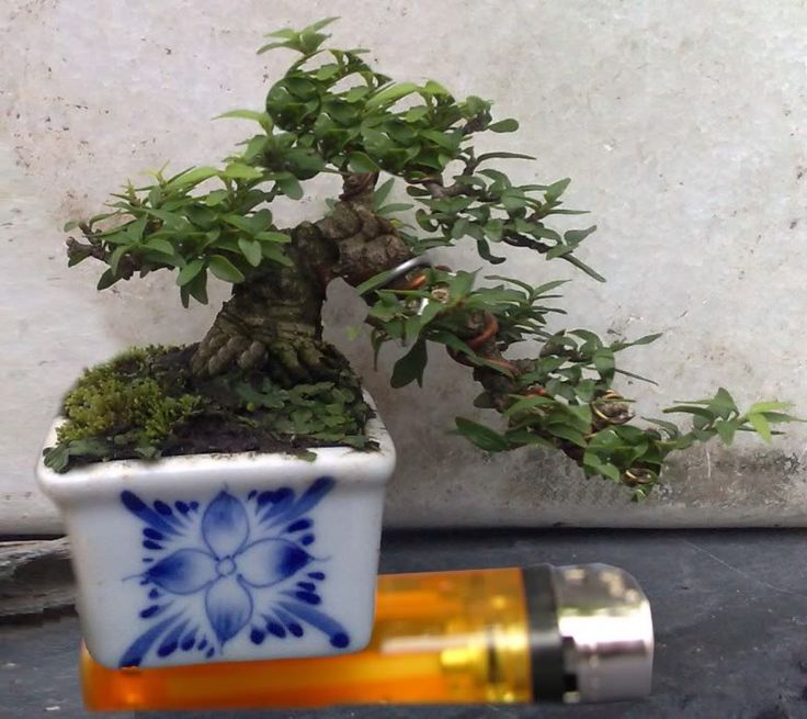 Bonsai nhỏ nhất thế giới: 22mm!