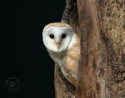 Risultati immagini per barn owl