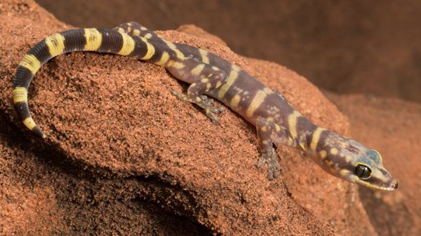 Oedura luritja - NEW SPECIES named - Researchers with Australian National University have discovered a new species of gecko. The lizard, Oedura luritja, found near Alice Springs and Kings Canyon, was thought to be the more common velvet gecko until a genetic test was performed on a specimen. According to Dr. Paul Oliver, the new species has its own genetic line that goes back millions of years.