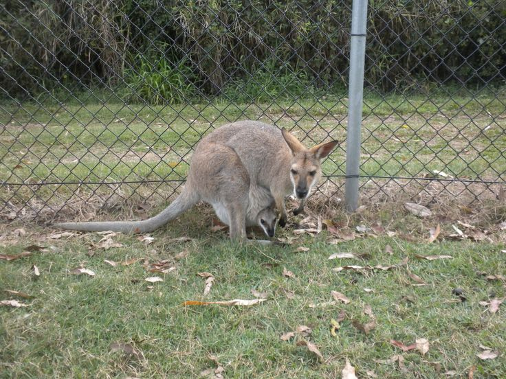 #Wallaby with #Baby #Australia