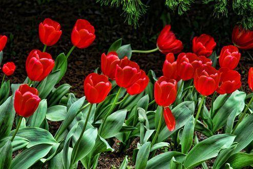 Красные весенние тюльпаны, фотограф Kyung Woo Kim