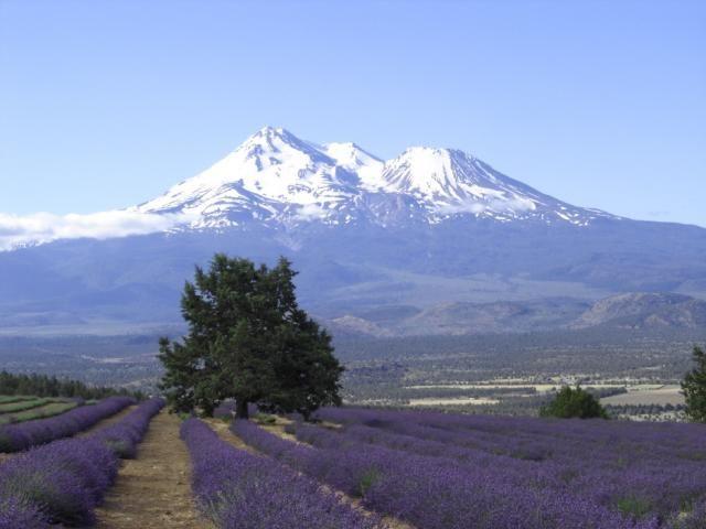 Resultado de imagen de Monte Shasta Lavender Farms: Montague, California
