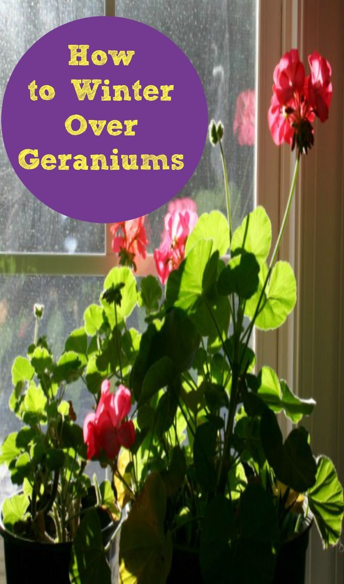 1000 images about shannonigan 39 s how does your garden grow on pinterest gardens raised - Overwintering geraniums tips ...