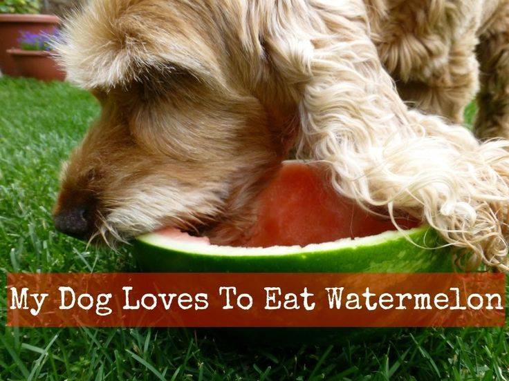Does Your Dog Love Watermelon Too?? - YouTube  |Dogs Love Watermelon