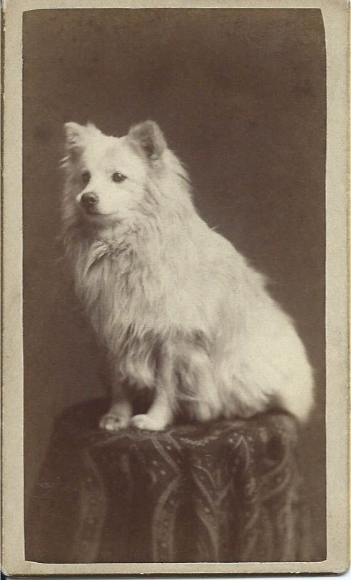 c.1880 cdv of a white spitz sitting on a draped table. Photo by J. H. Reinhold, 449 Vine St. opp. Public School, Cincinnati, O. From bendale collection