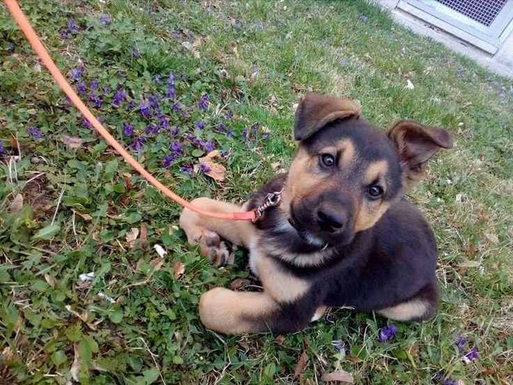 Spring. ❤☀ #germanshepherd #cutie #flowers