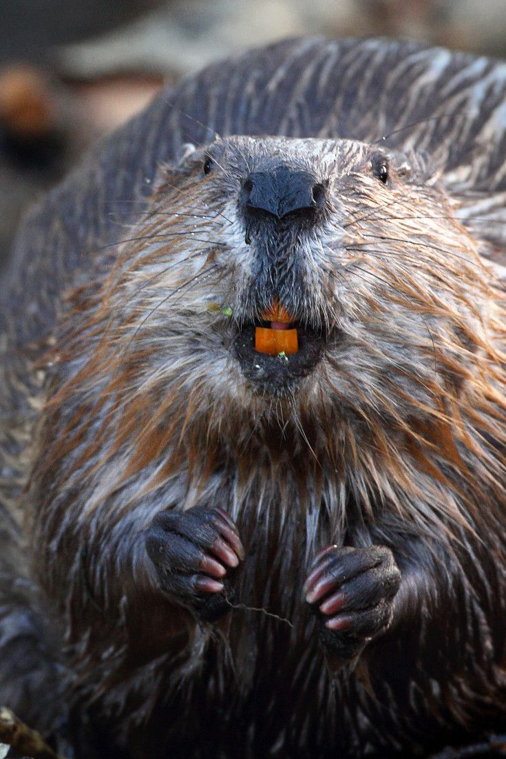 171 best beavers images on pinterest beavers animals and wild