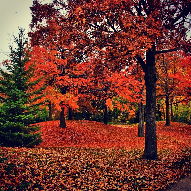 Fall trees Oakville, ON