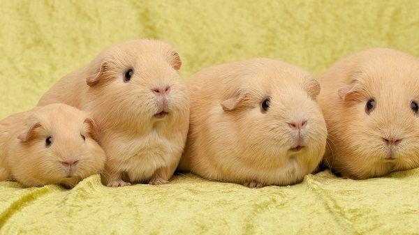 Семейство морских свинок персикового окраса