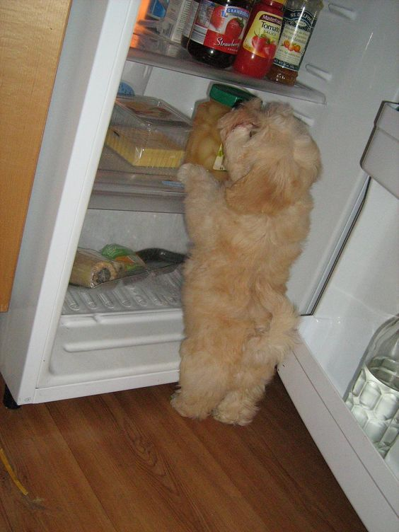 Edelpark Havanese - Australia...→a dog in the fridge ain't me but HE cute: - Tap the pin for the most adorable pawtastic fur baby apparel! You'll love the dog clothes and cat clothes!