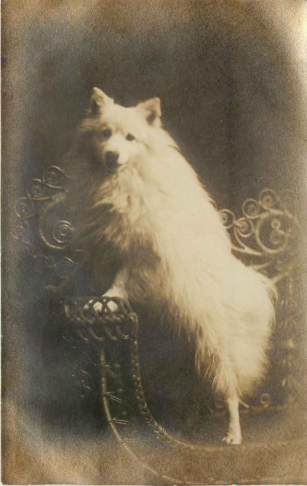1908 original RPPC Dog WHITE POMERANIAN or SPITZ? PORTRAIT mailed OMAHA