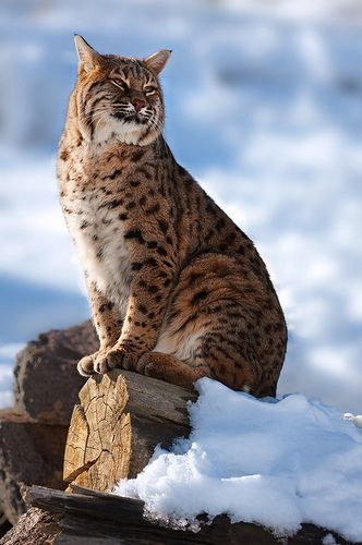 Bobcat Snow Winter Snow... boy,  would i like about 100 of these... @ anywhere from $600-1200 a piece for their hide. I would use a few for myself... i want a big coat with a hood!