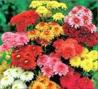 Image result for •	Chrysanthemums