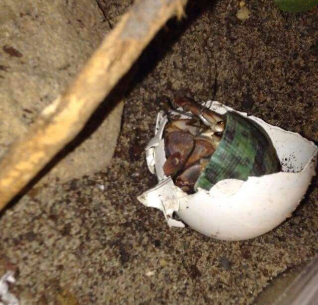 Do you like eggs? Great! Hermit crabs love the egg shells. It's good calcium for their exoskeleton. You put the shell as is in the tank or crush to mix with other things.