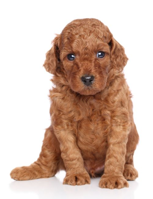 Cutest Brown Miniature Poodle Puppy