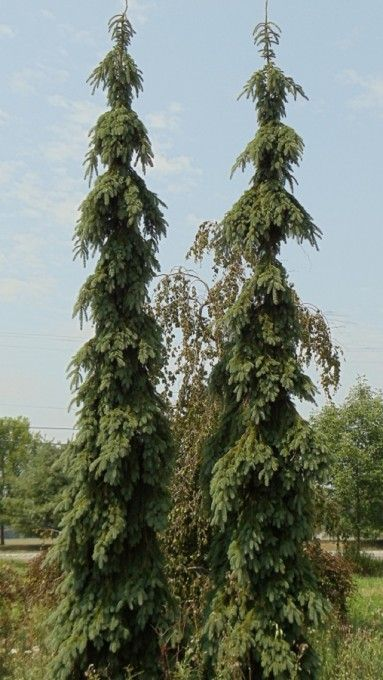 Picea glauca pendula weeping white spruce deer resistant for Weeping evergreen trees for small gardens