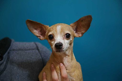 Pictures of Freddy! a Chihuahua for adoption in New York, NY who needs a loving home.
