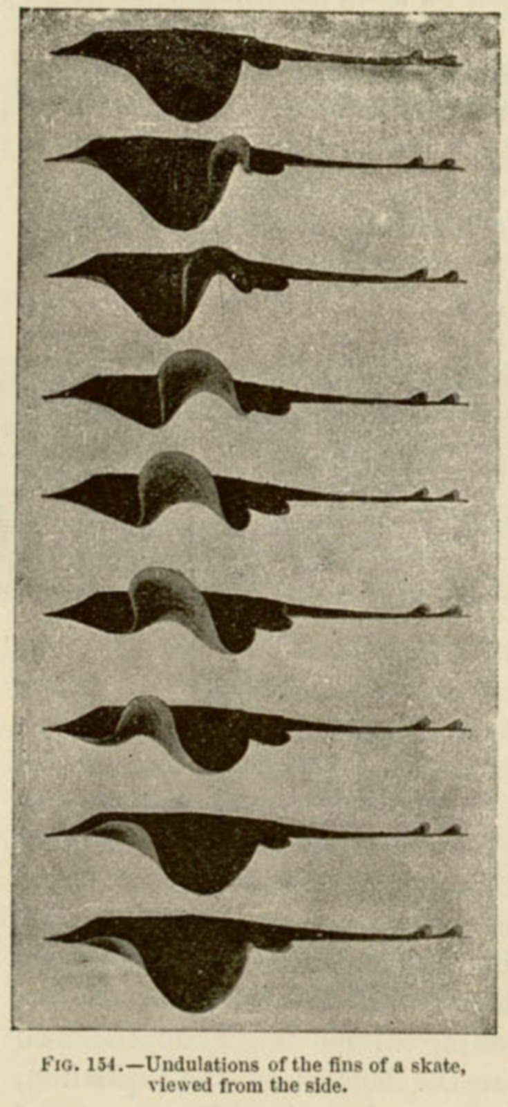 Undulations of the fins of a skate viewed from the side by Étienne-Jules Marey, 1894. Chronophotography