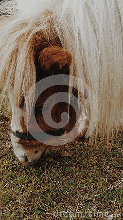A close up view of a Shetland Pony grazing