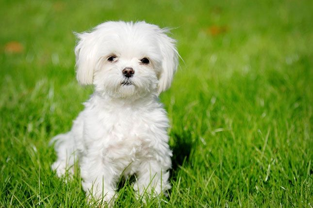 Find Maltese puppies for sale with pictures from reputable dog breeders. Ask questions and learn about Malteses at NextDayPets.com.