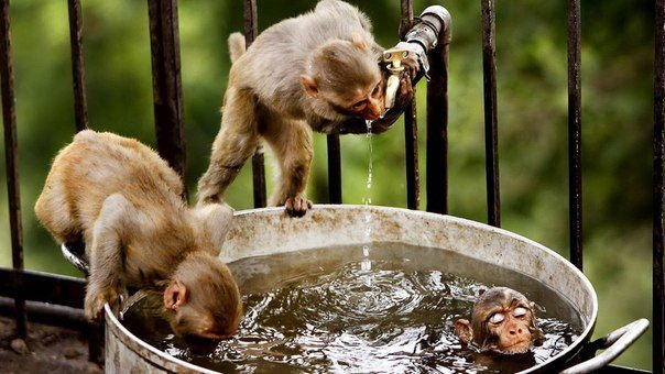 Three monkeys escape from the heat on the outskirts of Jammu city in India. Photo taken by my friend https://www.facebook.com/aleksa.sasha