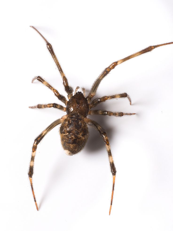 The common house spider is usually the spider most often encountered indoors. It is a nuisance pest, probably more because of its webs than the spider itself. The house spider is found worldwide and is common throughout the United States and Canada. Seal cracks & use screens to prevent house spiders. Use a vacuum to remove adults, egg sacs and webs!