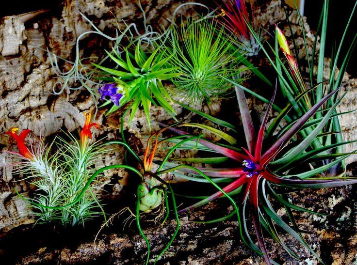 Tillandsia (luftplanter)