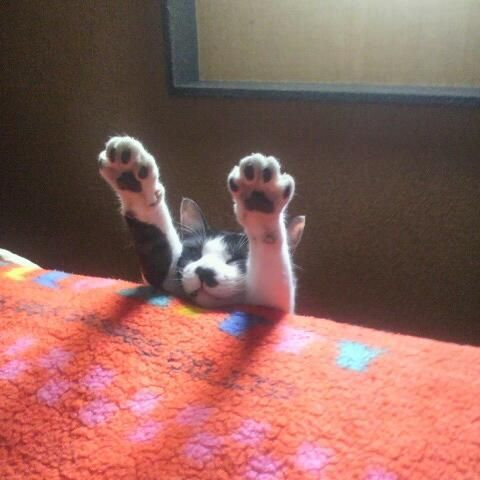 17 best images about cats doing yoga or stretchingor in