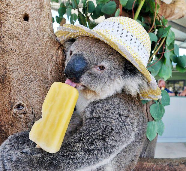 78 best images about ANIMALS - KOALA BEARS on Pinterest | Koala ...
