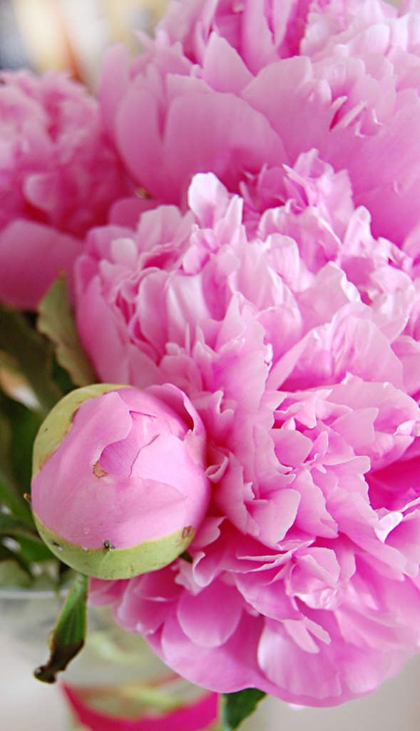 peonies, my daughter-in-laws wedding bouquet and favorite flowers.