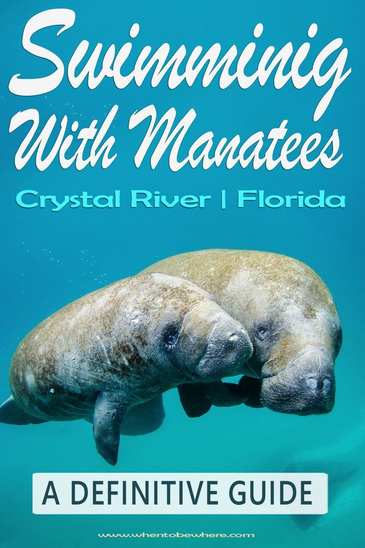 Swimming With Manatees In Florida Crystal River Best Time Which Months Winter Summer An Amazing Swimming With Manatees Florida Travel Wildlife Travel