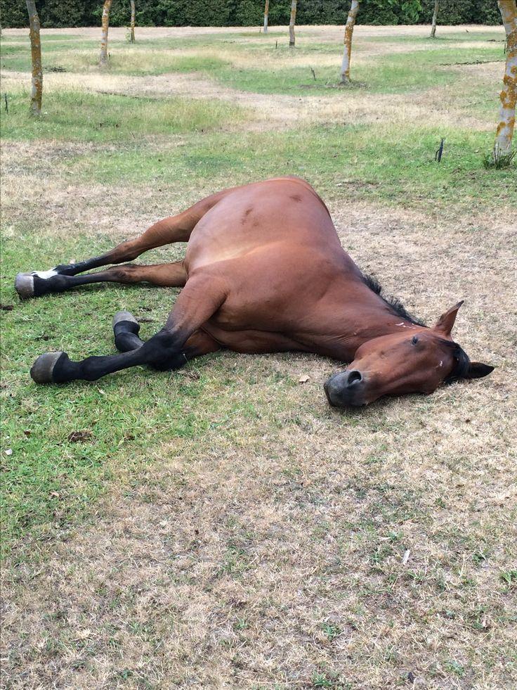 Captain Peacock,  Taking a nap Bay standardbred horse