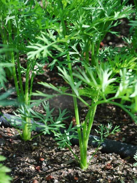 Growing Carrots How To Grow Carrots Planting Carrots 400 x 300
