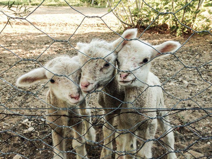 Lambs in the Karoo