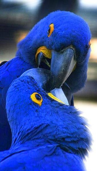 Hyacinth Macaws, considered the gentle giant... But don't let them fool ya, cause they bite really hard.