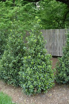 A stunning evergreen shrub to place at the back of your garden bed is the Castle Wall™ Blue Holly. Growing to an impressive 5 to 8-feet tall, but only 3 to 4-wide this holly is perfect for mid-sized gardens as it's narrow, pyramidal shape won't overwhelm the garden bed.