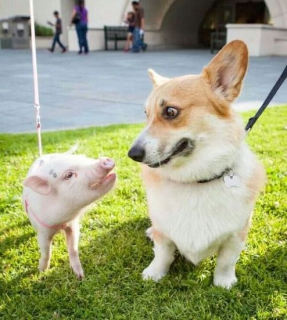 cute picture of a little pig and a corgi
