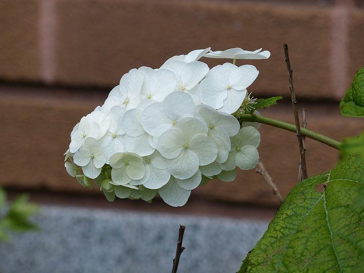 http://faaxaal.forumgratuit.ca/t3635-photo-d-hydrangeacee-hortensia-a-feuilles-de-chene-hydrangee-a-feuilles-de-chene-hydrangea-quercifolia-oakleaf-hydrangea-oak-leaved-hydrangea