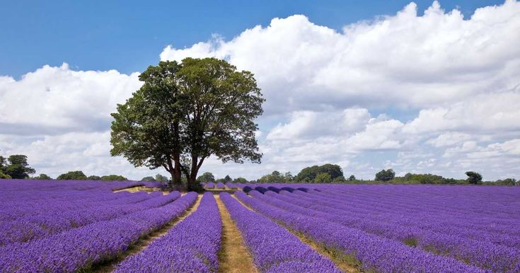 Visit Ontario's Largest Lavender Field