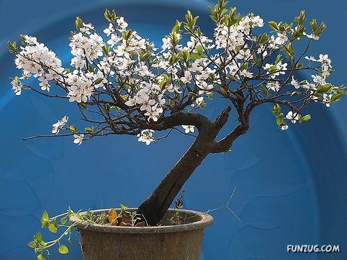 Awesome Japanese Bonsai Trees