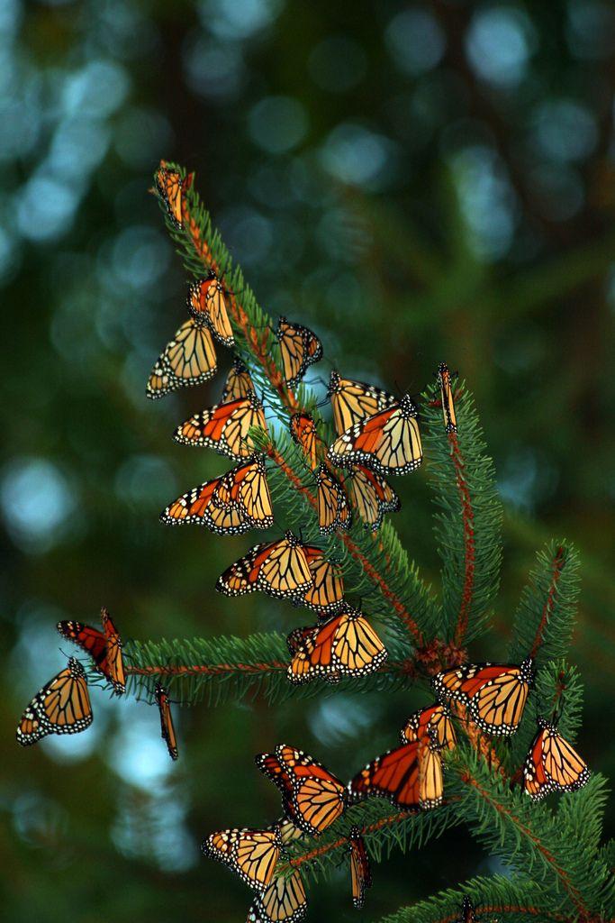~Migrating  Monarch Butterflies by a56jewell~~ Vus en Ardèche, non ?