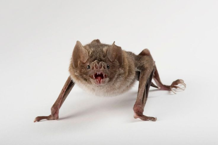 Picture of vampire bat - (NGS Picture ID: 1303921)