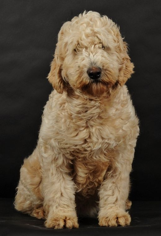info on goldendoodles http://www.swissridgegoldendoodles.com/goldendoodleinformation.html#anchor_14
