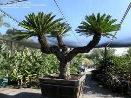 Propagation of Cycas revoluta: The King Sago Palm - James Stockdale e-Portfolio