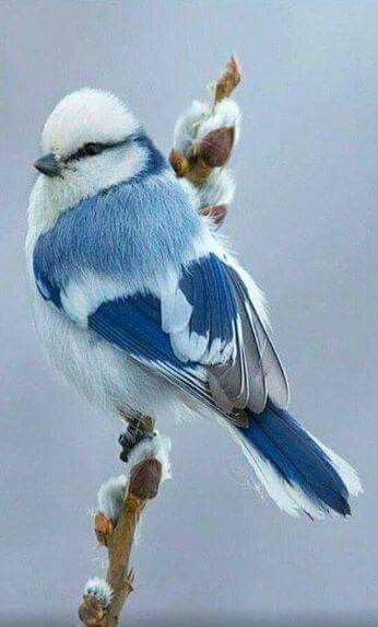 Unknown blue & white bird on a pussywillow branch