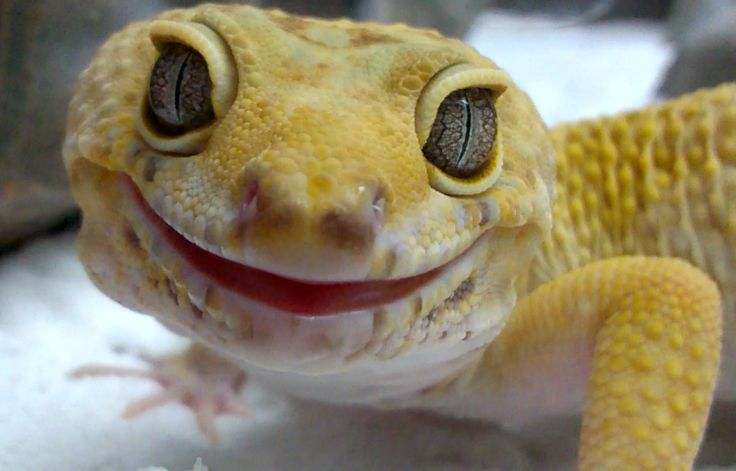 My happy gecko