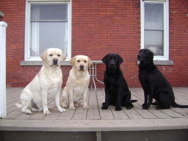 Labrador Retrievers With Images Lab Dogs Labrador Retriever Labrador
