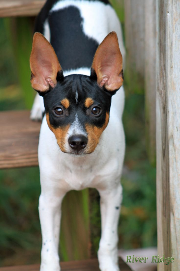 Beautiful rat terrier from River Ridge Rat Terriers, Telford, PA