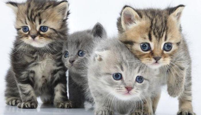 Estas son  las Enfermedades  que Transmiten los Gatos. ¡Conocelas!